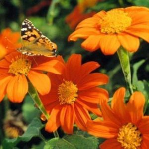 TITHONIA GOLDFINGER - MEXICAN SUNFLOWER