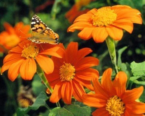 TITHONIA GOLDFINGER – MEXICAN SUNFLOWER
