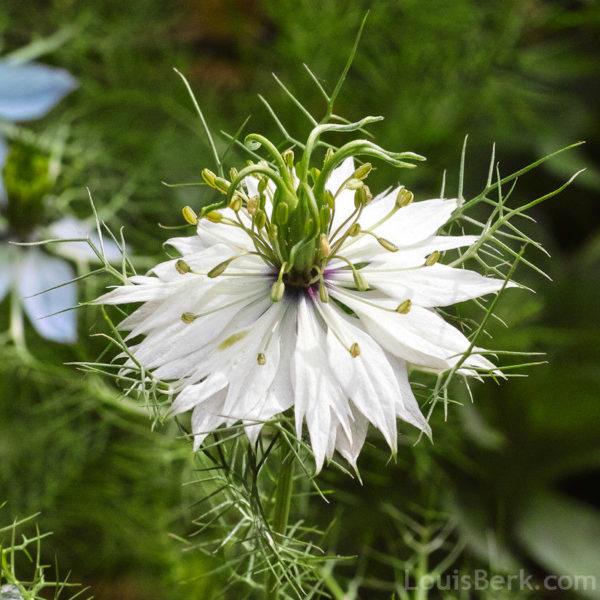 FLOWER NIGELLA LOVE IN A MIST - WHITE
