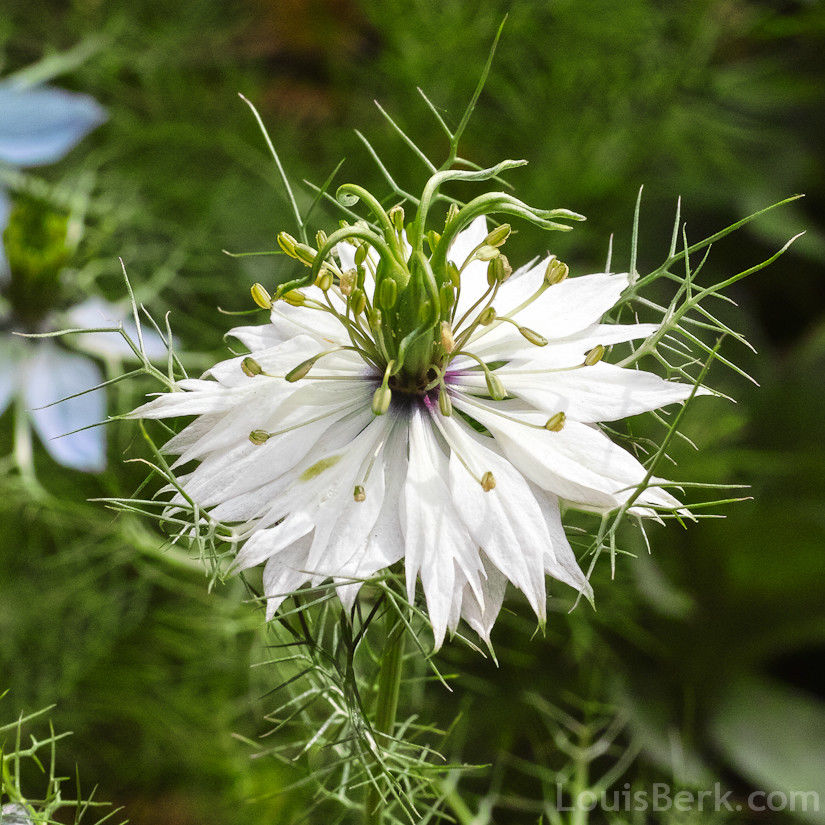 White Nigella Flower Stock Images - Download 537 Royalty ...