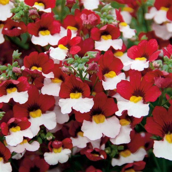 NEMESIA STRUMOSA RED WHITE