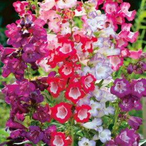 PENSTEMON – SENSATION MIXED