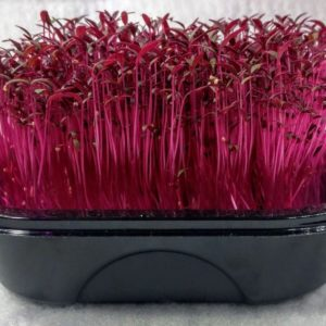 SPROUTING / MICRO GREEN AMARANTH RED GARNET