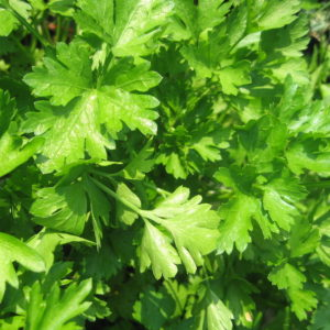 ORGANIC HERB PARSLEY PLAIN LEAVED ( FRENCH)