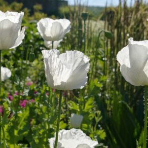 POPPY PAPAVER SOMNIFERUM SISSINGHURST WHITE