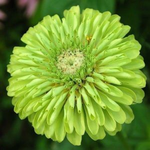 FLOWER ZINNIA GIANT ENVY