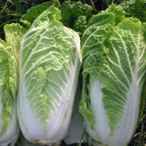 Chinese Cabbage Wong Bok