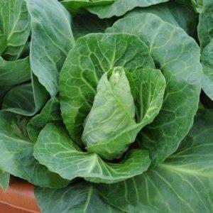 Cabbage – Greyhound