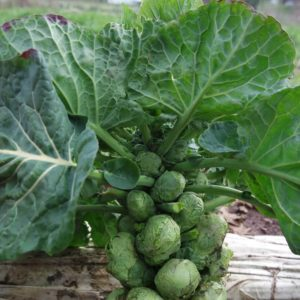 BRUSSEL SPROUT  EARLY HALF TALL