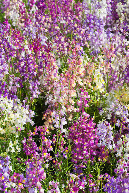TOADFLAX - FAIRY BOUQUET- LINARIA