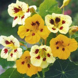 Nasturtium Tropaeolum Ladybird Mixed