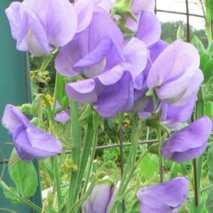 Sweet Pea Royal Family Lavender new