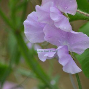 Sweet Pea Memories Grandiflora