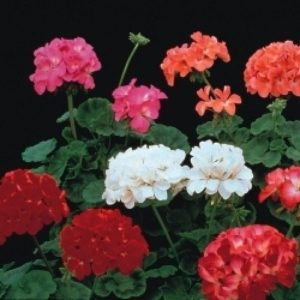 GERANIUM F2 COLORAMA MIX