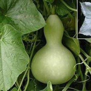 Gourd Large Bottle