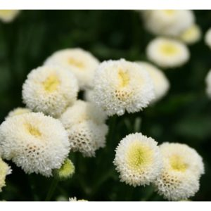 FLOWER  CHRYSANTHEMUM SNOW BALL
