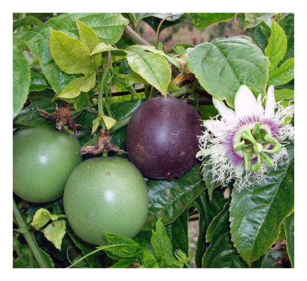 Flowers Passion Fruit Edible