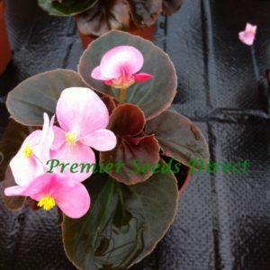 Begonia Semperflorens - Devil Rose
