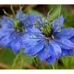 NIGELLA DAMASCENA – LOVE IN A MIST – MISS JEKYLL BLUE