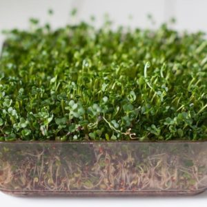 ORGANIC SPROUTING / MICRO GREEN SEEDS – BROCCOLI CALABRESE