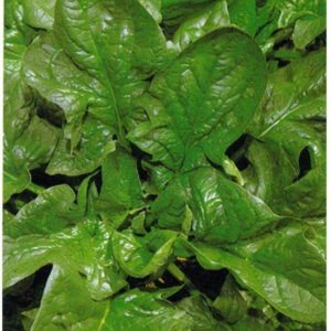 Spinach Giant Winter Organic
