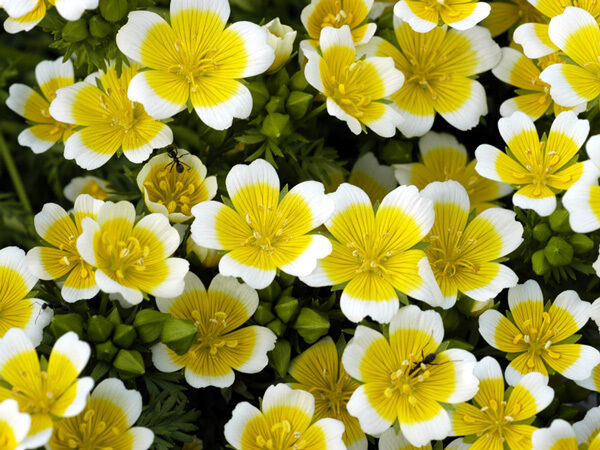 Limnanthes Douglasii Poached Egg Mix