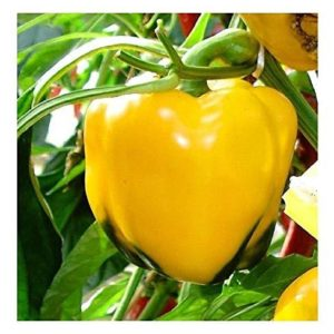 Organic Sweet Pepper Quadrato D'ASTI Yellow