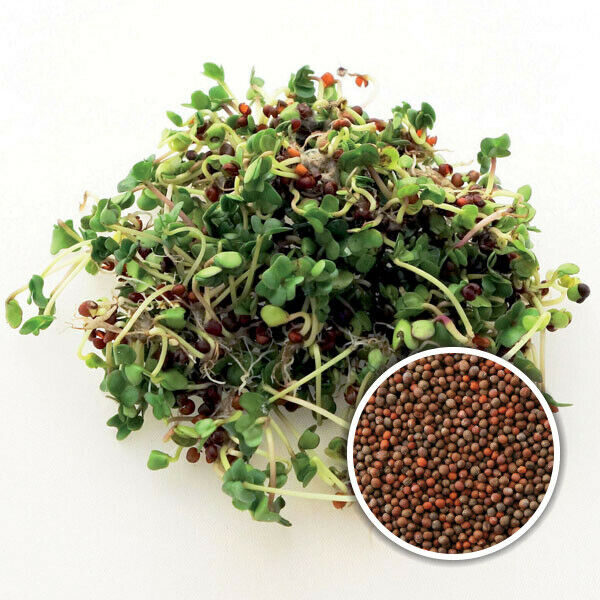 Broccoli Calabrese - Sprouting/MICROGREEN Seeds