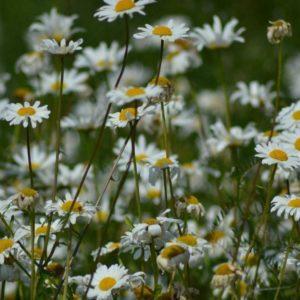 ORGANIC WILD FLOWER OX EYE DAISY