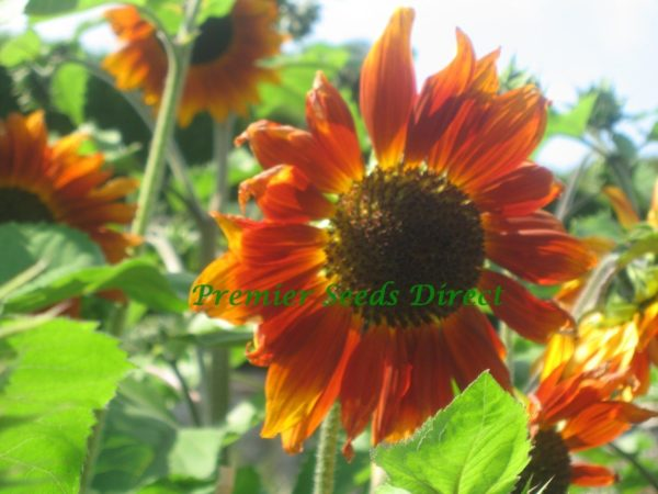 Sunflower Velvet Queen Organic