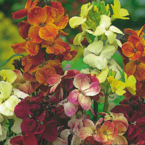 Wallflower English Fair Lady Mix