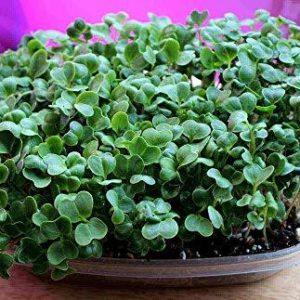 Micro Green Radish Daikon
