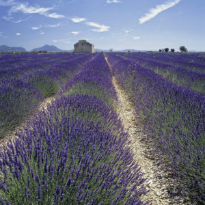 Lavender Lavendula Angustifolia Provence Blue