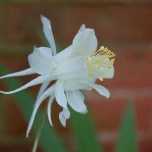 FLOWER AQUILEGIA COLUMBINE CRYSTAL STAR PERENNIAL