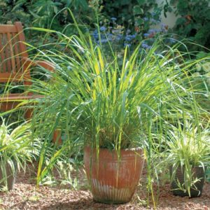 Herb Lemon Grass East Indian
