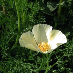California Poppy White Linen