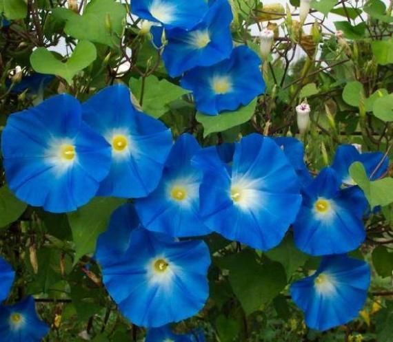 Morning Glory Ipomoea Heavenly Blue