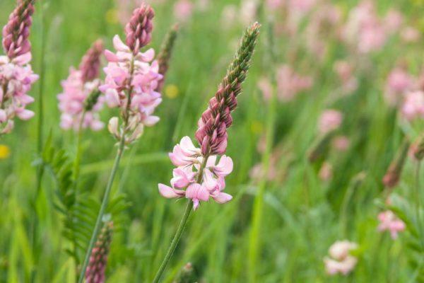 BRITISH WILD FLOWER SAINFOIN