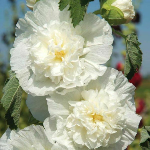 HOLLYHOCK CHATERS WHITE