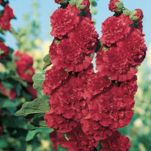 FLOWER HOLLYHOCK CHATERS SCARLET RED