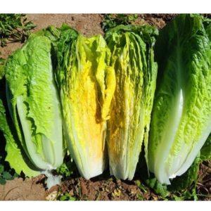 Organic Lettuce Romaine Paris Island