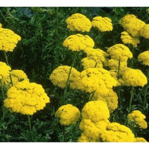 FLOWER ACHILLEA FILIPENDULINA – CLOTH OF GOLD
