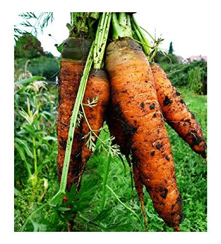 PREMIER SEEDS DIRECT -Seed Tape Carrot Autumn King 6M (3X2M) ~ Approx 540 Seeds
