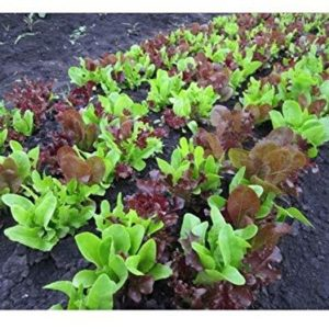 Seed Tape Lettuce Gourmet LOOSELEAF Cutting Mix 6M (3X2M) ~ Approx 600 Seeds
