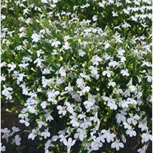 Lobelia Cascade White