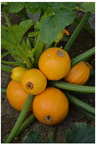PREMIER SEEDS DIRECT - COURGETTE Midas F1-10 Seeds