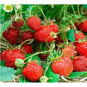Vegetable Strawberry Four Seasons