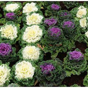 Kale Ornamental Fringed Mix  Brassica OLERACEA