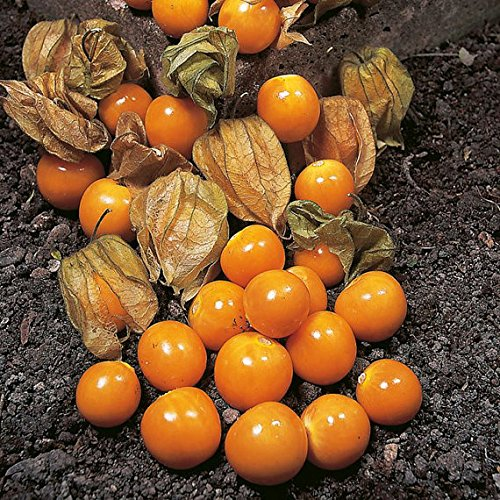 CAPE GOOSEBERRY(PHYSALIS PERUVIANA) - 0.25 GRAM ~ APPROX 240 SEEDS