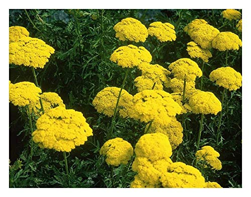 ACHILLEA FILIPENDULINA CLOTH OF GOLD.
